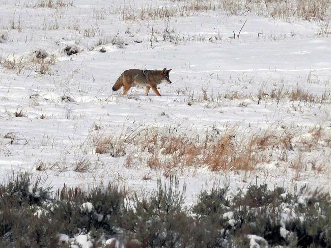 coyote_stalk.jpg