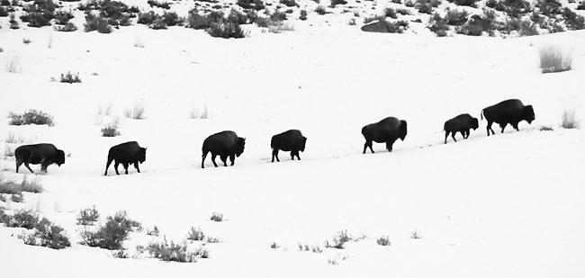 bison_in_line.jpg
