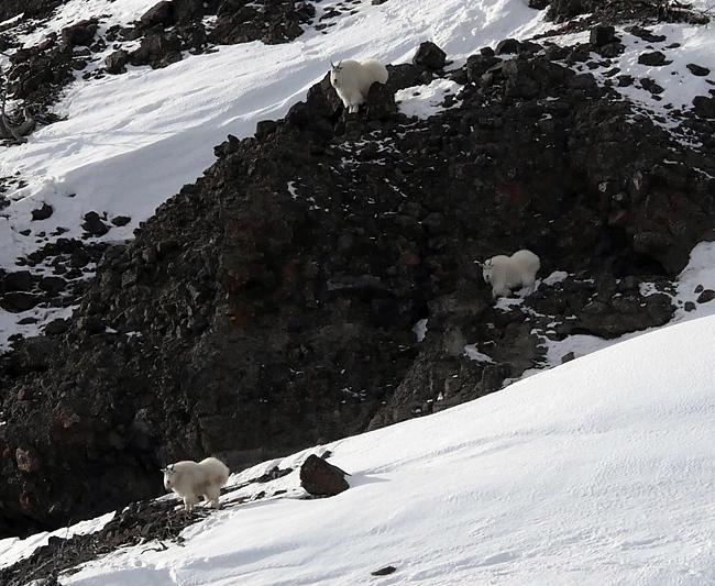 cutoff_goats.jpg