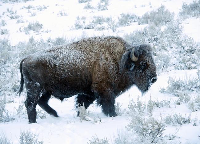 mr_bison.jpg