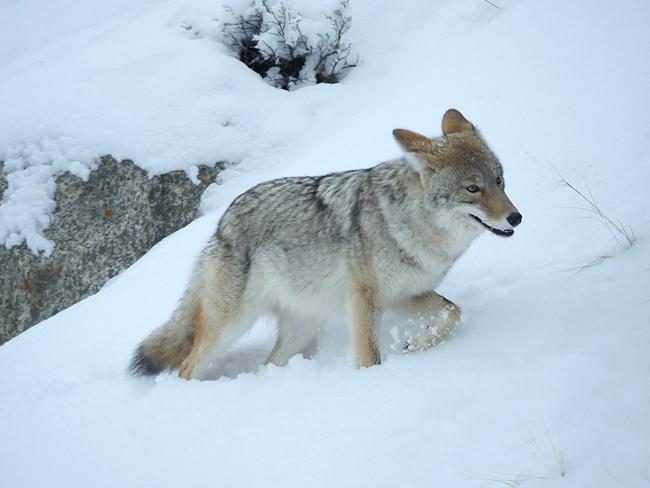 dec18_coyote.jpg