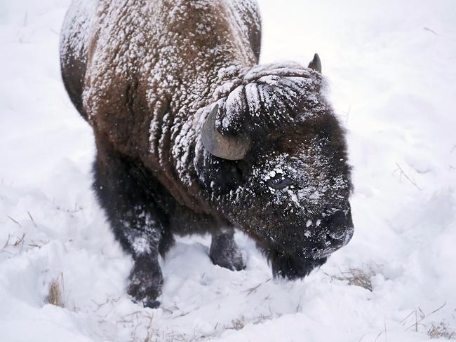 bison_dec25.jpg