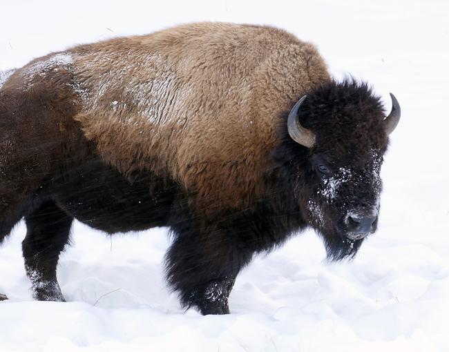 one_tough_bison.jpg