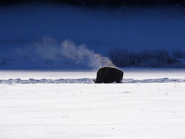 steaming_bison.jpg