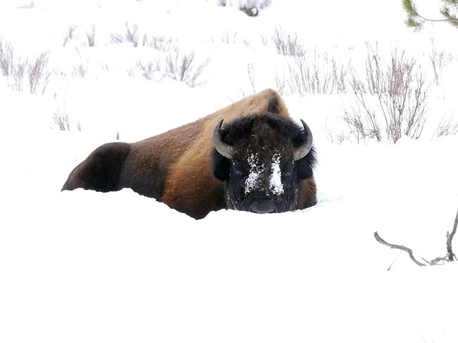 bison_siesta.jpg