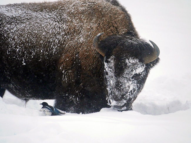 bison_and_magpie.jpg