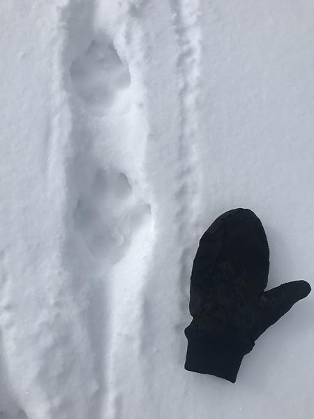 wolf_track.jpg