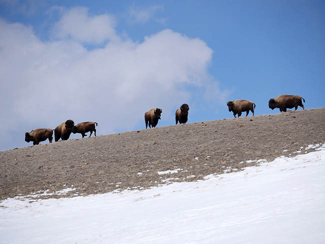 bison_on_ridgeline.jpg