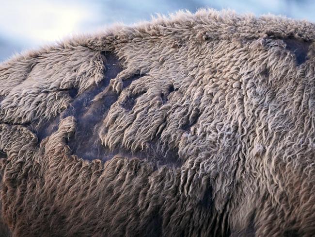 bison_hide.jpg