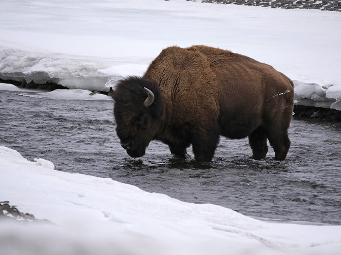 bison_in_river.jpg