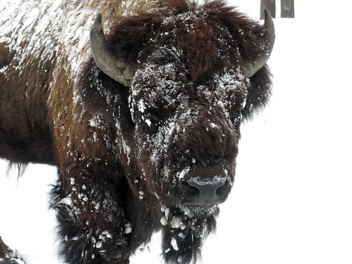 bison_friend.jpg