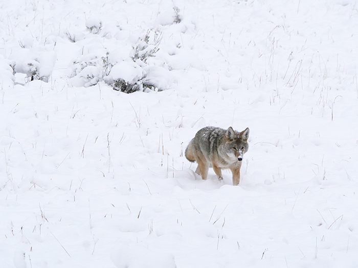 yellowstone_coyote.jpg