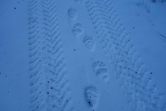 grizzly_bear_tracks.jpg