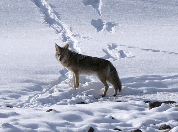 dec10_coyote.jpg
