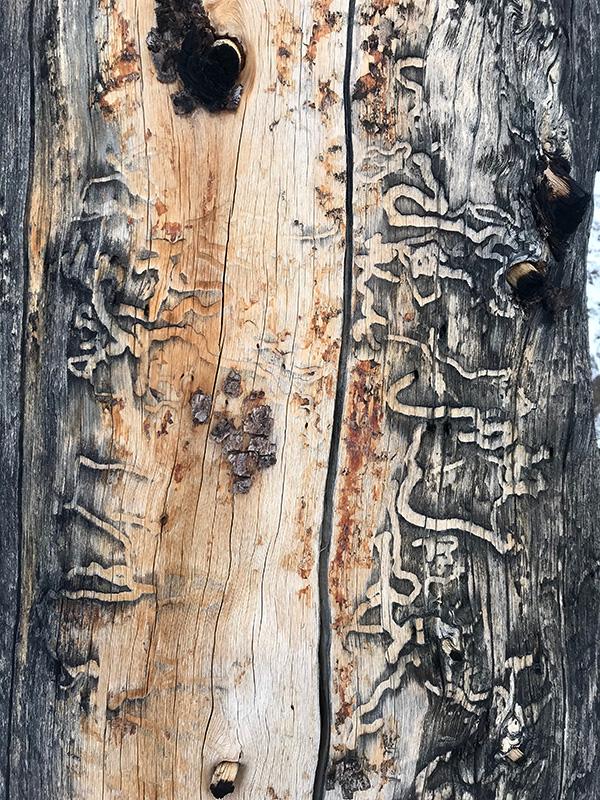 wood_borer.jpg