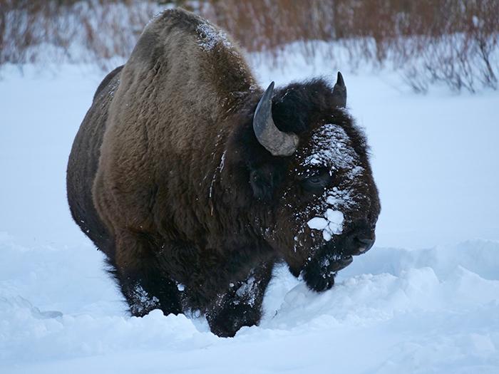 jan3_bison.jpg