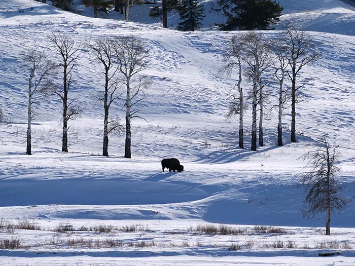 lone_bison.jpg
