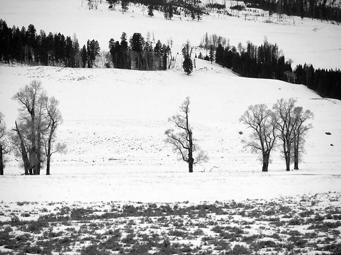 cottonwoods1.jpg