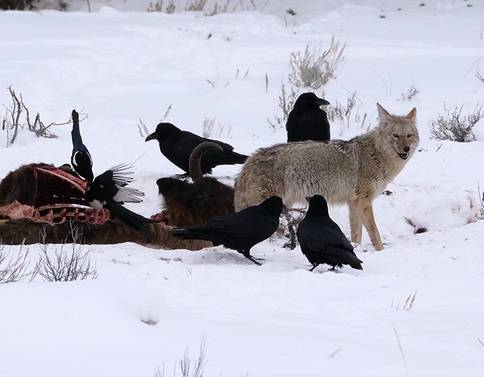 coyote_with_ravens.jpg