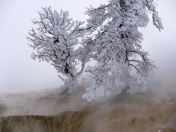 mammoth_tree.jpg