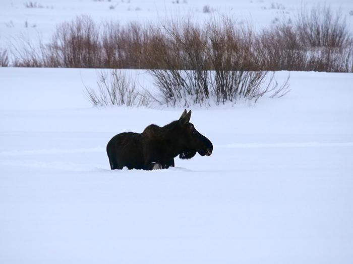 moose_march6.jpg