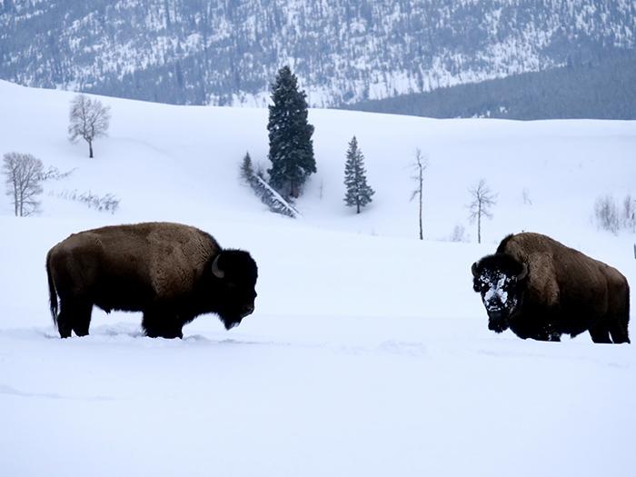 bison_duo.jpg