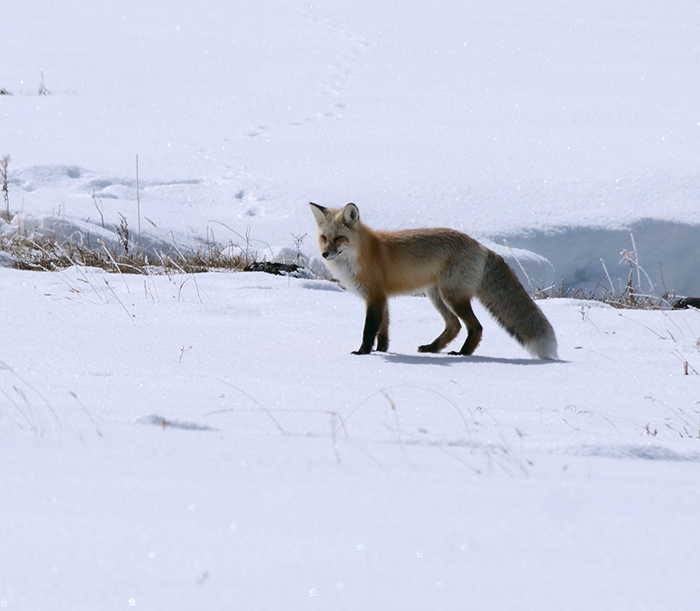 april2_fox.jpg
