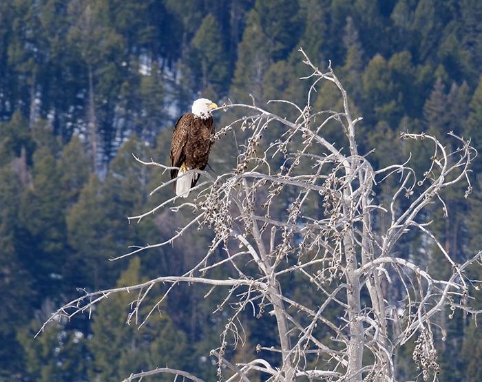 lamar_eagle2.jpg
