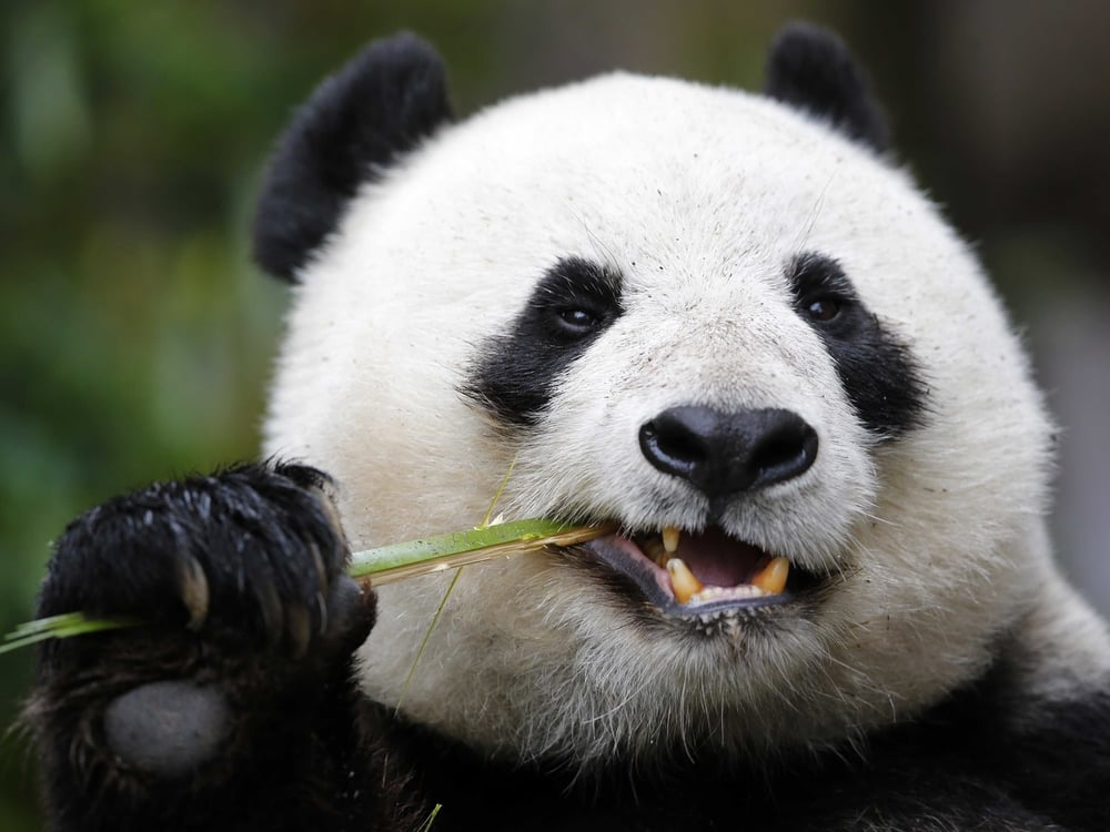 PandaNomNom