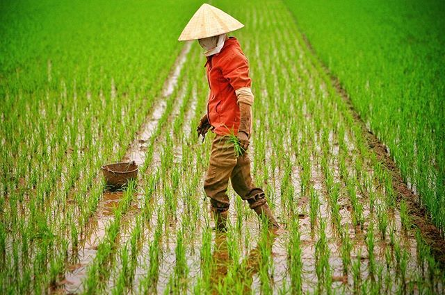 Ninh Binh, Vietnam 2007. . #rice #onassignment #seetheworld #foodsecurity #ricefield #southeastasia #labor