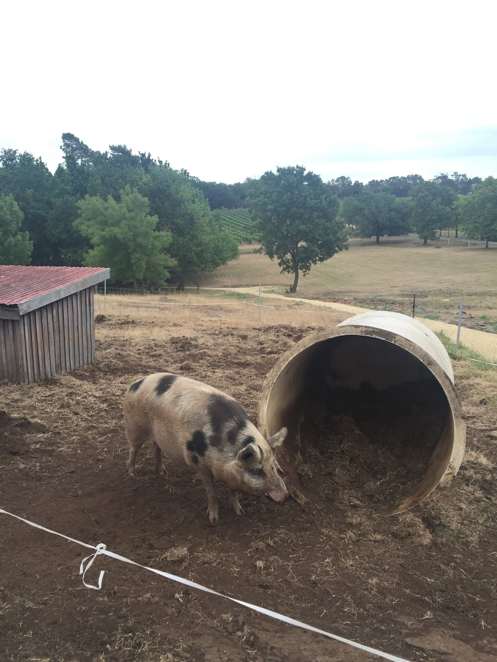 We made friends with this nice piggy (by feeding him!) at the Hold Oak Winery, also in the Tamar Valley.