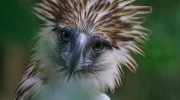 Bird of Prey - What does it take to save the world's largest and rarest eagle from extinction?