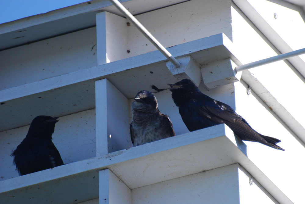 Purple Martins at Rose Lake State Natural Area