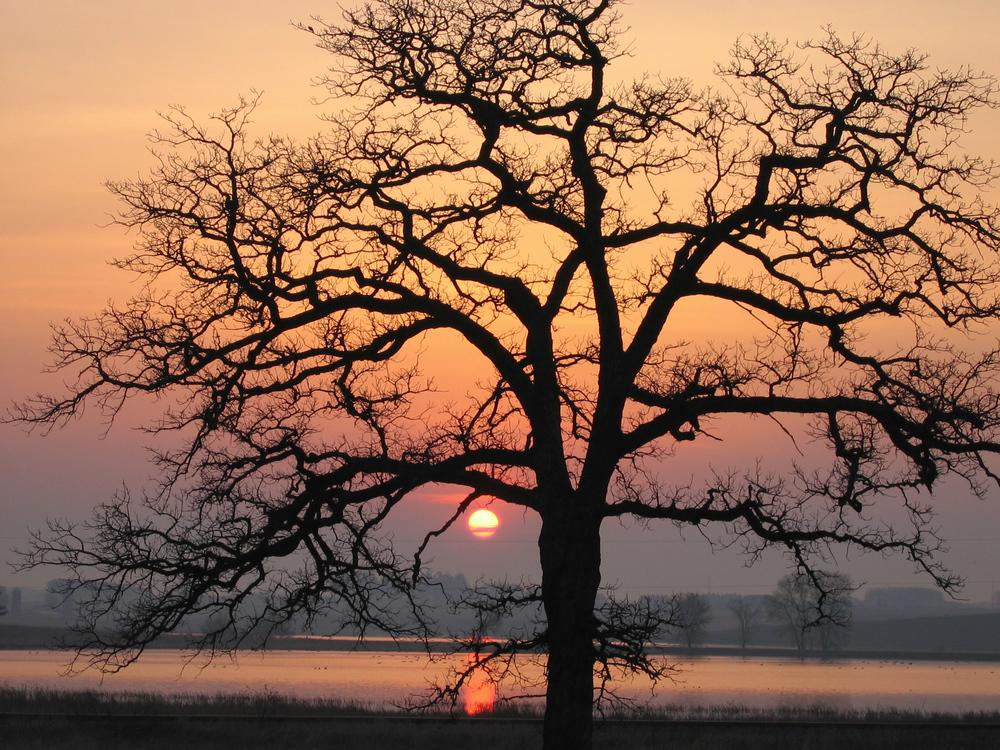 A stately oak frames sunrise at Goose Pond Sanctuary