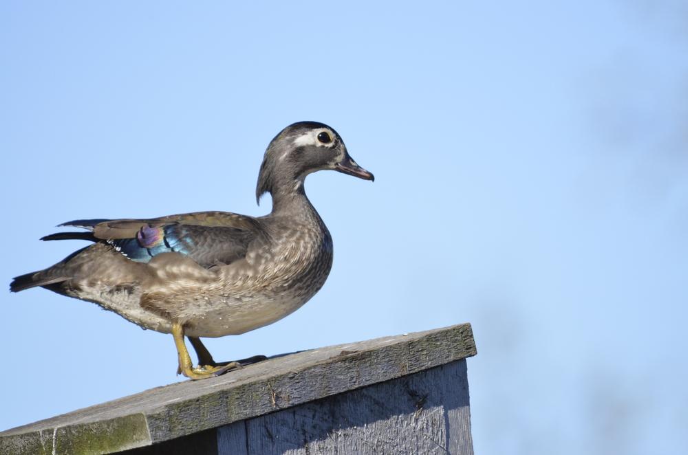 Nesting wood ducks at Goose Pond Sanctuary