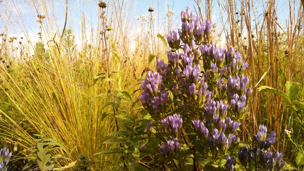 Several varieties of native gentians are found at Goose Pond, including this stiff gentian