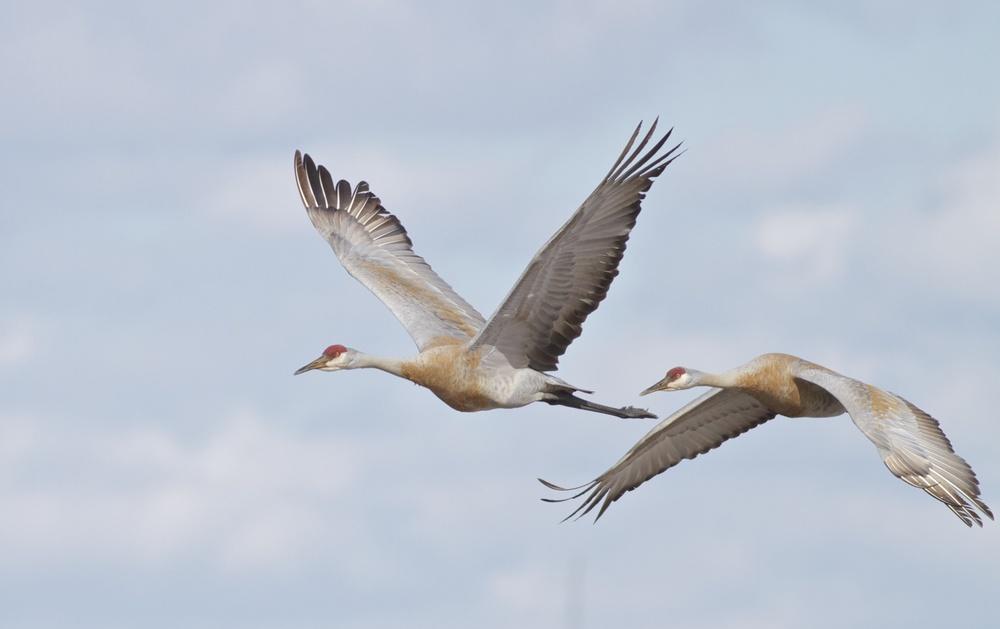 Sandhills in flight