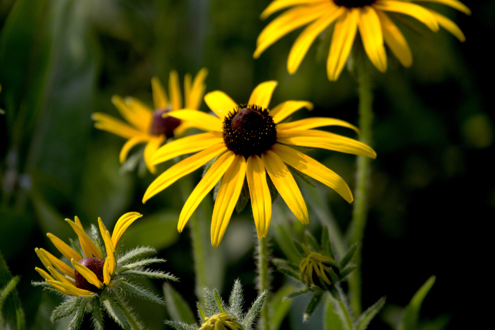 Black-eyed Susans in bloom at Faville Grove
