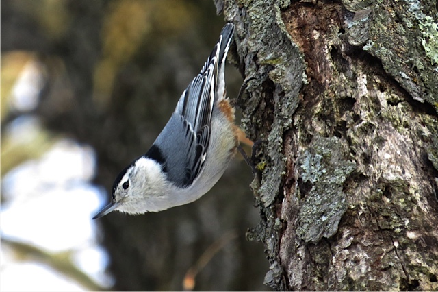 This nuthatch might be one of the birds you spy during your Great Backyard Bird Count! Photo by  Madison Audubon member Pat Ready