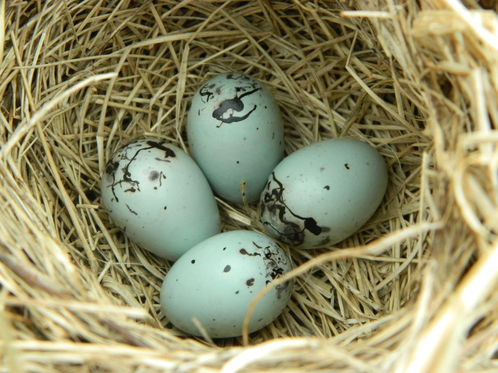 Monitoring the nests of birds in your area can help scientists understand their reproductive behaviors.  Photo of red-winged blackbird nest by Carolyn Byers