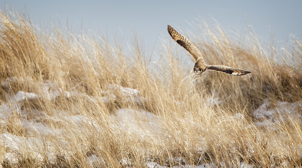 Short eared owl by Phil Brown