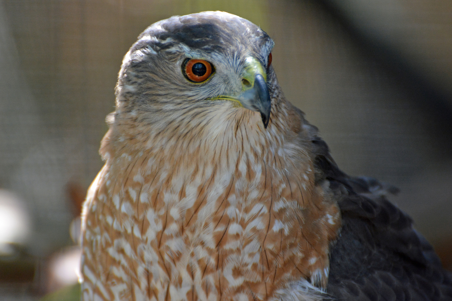 Whats For Lunch Asked Coopers Hawk >> Featured Sanctuary Bird Cooper S Hawk Madison Audubon