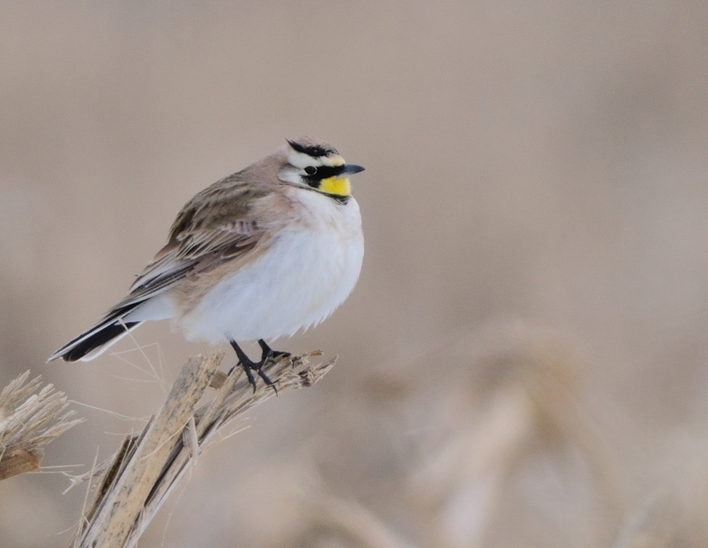 Horned Lark by David Inman, Flickr Creative Commons