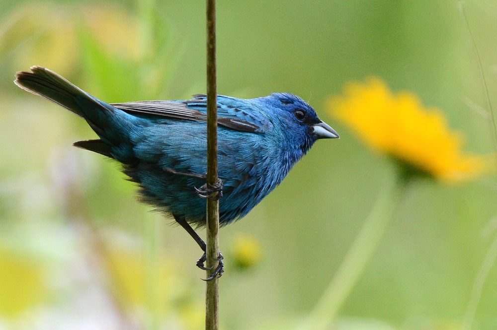 Indigo bunting.  Photo by Jim Hudgins, USFWS