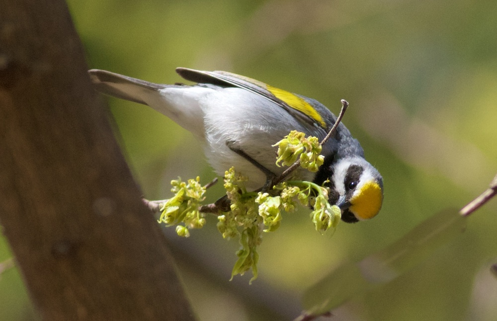 Golden-winged warbler.  Photo by Arlene Koziol