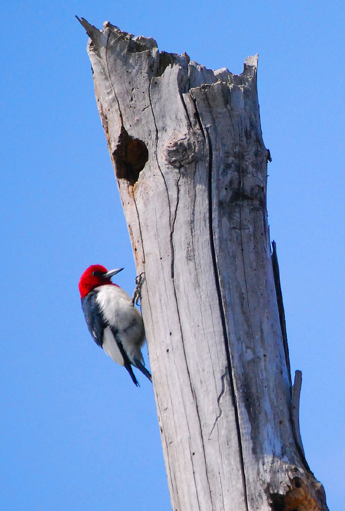 Red-headed woodpecker.  Photo by Scott Duncan