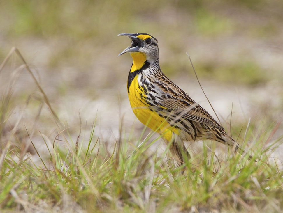 Eastern meadowlark.  Photo by Phil Brown