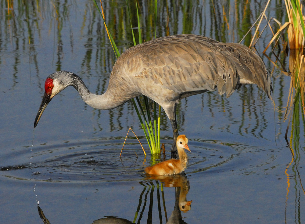 Sandhill crane breakfast.  Photo by Andrea Westmoreland
