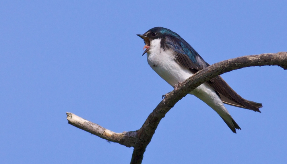 Tree Swallow_Arlene Koziol