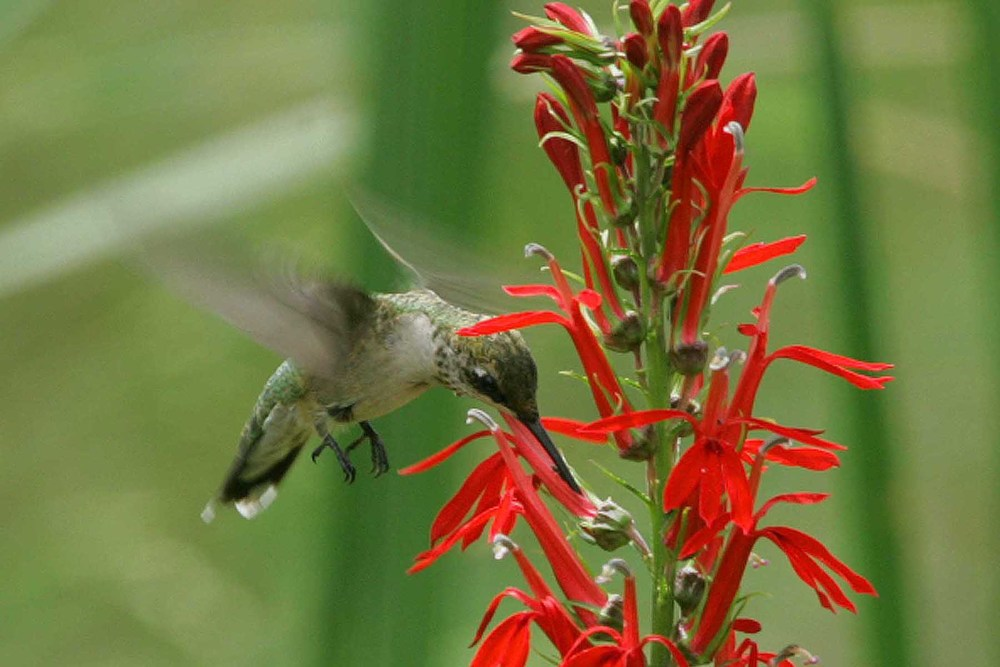 A ruby-throated hummingbird visits a native cardinal flower. Photo courtesy USFWS